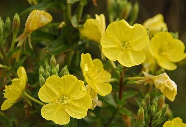 cvetna esencija lice prirodna kozmetika uklanjanje bora med